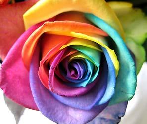 RainbowRoseAlice.jpg
